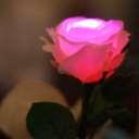 GRACE ROSE(グレイスローズ):ピンク