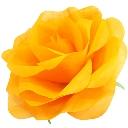 パステルローズL オレンジ Giant Flower 花径約45cm