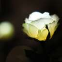 GRACE ROSE(グレイスローズ):ホワイト