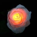 TWINKLE ROSE(トゥインクルローズ):オレンジ 水に反応して光るバラの花